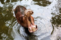 Hippopotamus open mouth in water wild the Royalty Free Stock Image