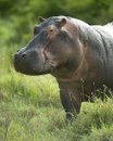 Hippopotamus in the serengeti reserve Stock Photo