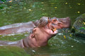Hippopotamus showing huge jaw and teeth Stock Images