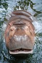 Hippopotamus smile in the pond at khao kheow open zoo chon buri thailand Royalty Free Stock Photography