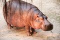 A hippopotamus stand asleep with eating grass Stock Photos