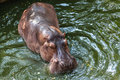 Hippopotamus swimming in water wild the Stock Image