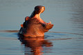 Hippopotamus in water Royalty Free Stock Images