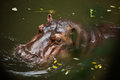 Hippopotamus in water Stock Photo