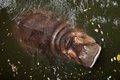 Hippopotamus  in water Stock Image