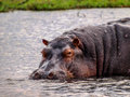 Hippopotamus in the water Stock Photo