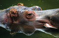 Hippopotamus in the water an adult relaxes with only top of head above surface Stock Photos