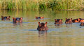 Hippopotamus in water group of amphibius southern africa Stock Images