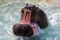stock image of  Hippopotamus In water