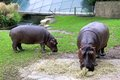 Hippopotamuses Royalty Free Stock Photo