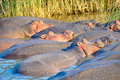 Hippopotamuses, Saint Lucia Lake, South Africa Royalty Free Stock Photo