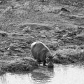Hippos in Africa Royalty Free Stock Photo