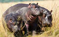 Hippos on the banks of the chobe river hippopotami in botswana Royalty Free Stock Images