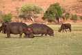 Hippos hippopotamus amphibius and buffalo at chobe national park botswana Stock Photography