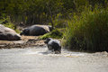 Hippos at the Isimangaliso wetland park, South Africa Royalty Free Stock Photo