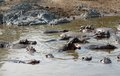 Hippos and sandy shore lots of near the in tanzania africa Royalty Free Stock Photos