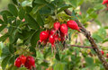 Hips ripe berries of dogrose on a branch close up Royalty Free Stock Photography