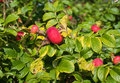Hips ripe berries of dogrose on a branch close up Royalty Free Stock Images