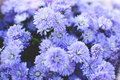 Hipster Chrysanthemum Purple
