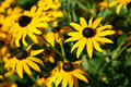 Hirta Black-eyed do Rudbeckia de Susans Imagem de Stock