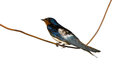 Hirundo rustica or barn swallow perched on a wire over white background badajoz spain Royalty Free Stock Image