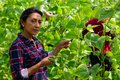 Hispanic female worker gathering crop of beans in hothouse Royalty Free Stock Photo