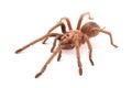 Hispaniolan Giant Tarantula Phormictopus cancerides, young female