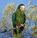 Hispaniolan Parrot, amazona ventralis, Adult standing on Branch