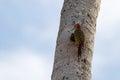 A Hispaniolan woodpecker (Melanerpes striatus) in the Dominican Republic