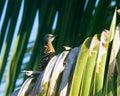 Hispaniolan Woodpecker in a palm tree