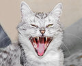 hissing  cat Royalty Free Stock Photo