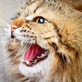 Hissing cat portrait of angry siberian showing teeth Royalty Free Stock Photo