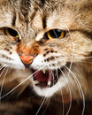 Hissing cat portrait of angry siberian showing teeth Royalty Free Stock Photography