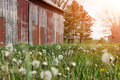 Historic old farmhouse and rustic faded barn with dandelion seed