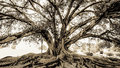 Historic old fig tree with above ground roots branches black and white sepia tone Royalty Free Stock Photo