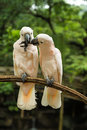 Hite Pair lovebirds Royalty Free Stock Photo