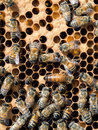 Hive of activity workers and queen bee inside the hive honey production closeup with sealed cells for young bees larger is Stock Photos