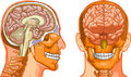 Hjärnhuman Arkivbilder