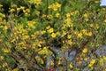 Hoa Mai tree Ochna Integerrima flower Royalty Free Stock Photo