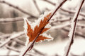 Hoar frost on leaf macro of autumn covered stuck to a branch in winter Royalty Free Stock Images