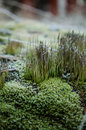 Hoar frost on lichens plants in october Stock Image
