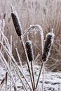 Hoar frost or soft rime on plants at a winter day Royalty Free Stock Photo