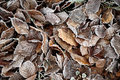 Hoar frosted fallen beech leaves Royalty Free Stock Photo