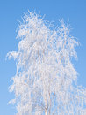 Hoarfrost on a birch Royalty Free Stock Photo