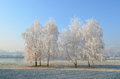 Hoarfrost on birch trees small hirst of near river covered by morning Royalty Free Stock Images