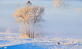 Hoarfrost covered trees in early morning light with a Mule Deer Royalty Free Stock Photo