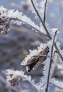 Hoarfrost a curled up leaf and twigs covered in with a blurred blue background Royalty Free Stock Photos