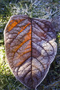 Hoarfrost leaf brown covered with Stock Image