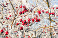 Hoarfrost on leaves winter background red berries the frozen branches covered with Stock Photo