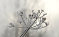 Hoarfrost on a plant in winter time Royalty Free Stock Photos